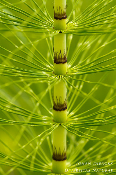 Equisetum telmateia - Reuzenpaardenstaart