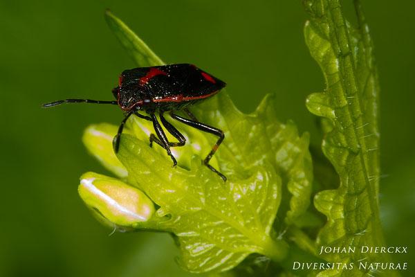 Eurydema oleracea - Koolwants