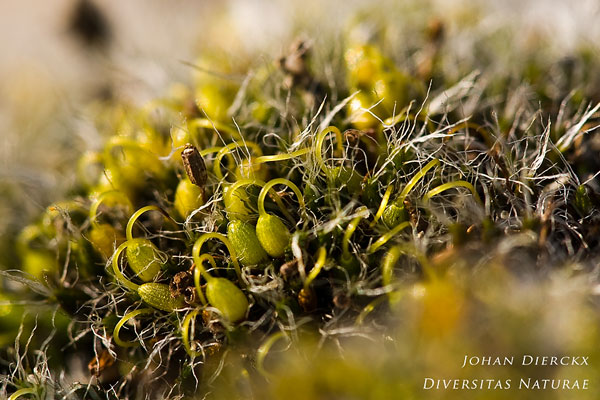 Grimmia pulvinata - Gewoon muisjesmos