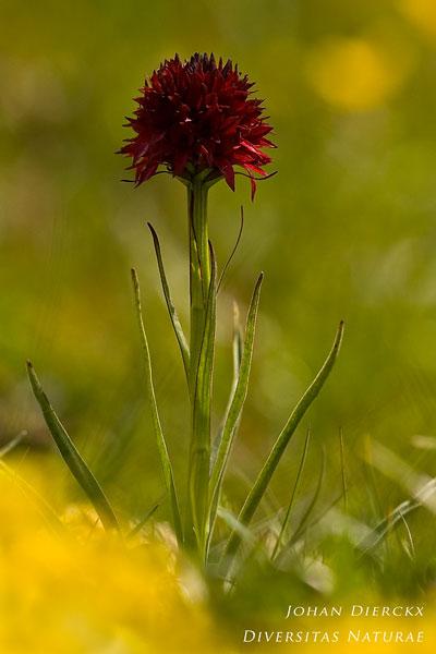 Gymnadenia austriaca