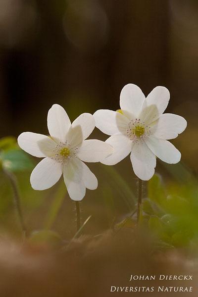 Hepatica nobilis - Leverbloempje