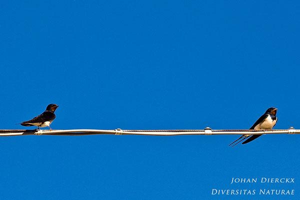 Hirundo rustica - Boerenzwaluw