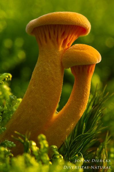 Hygrophoropsis aurantiaca - Valse hanenkam