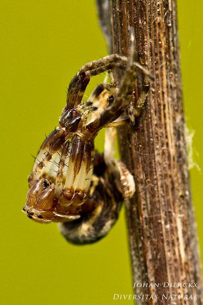 Larinioides cornutus - Rietkruisspin (Ecdysis)