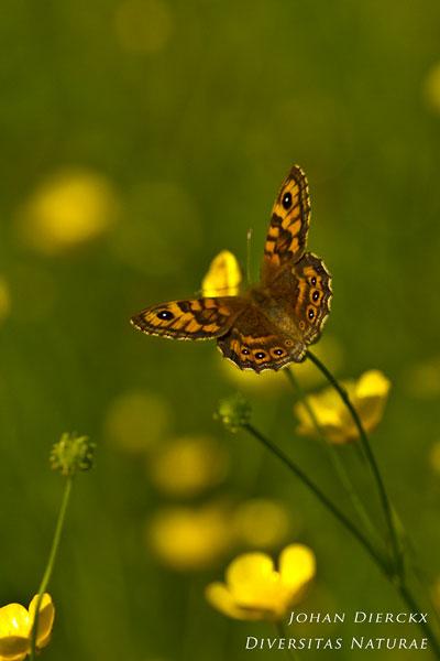 Lasiommata megera - Argusvlinder