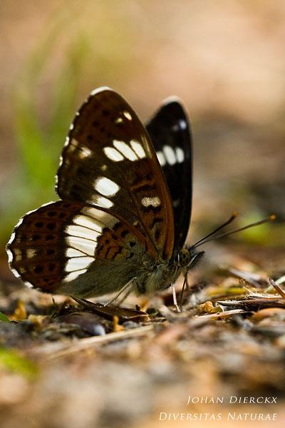 Limenitis camilla - Kleine ijsvogelvlinder