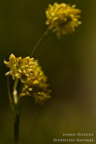 Luzula lutea - Gele Veldbies