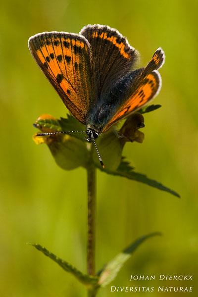 Lycaena hippothoe - Rode vuurvlinder
