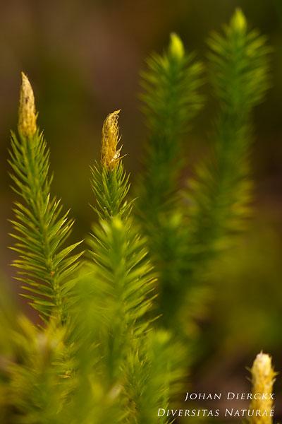 Lycopodium annotinum - Stekende wolfsklauw