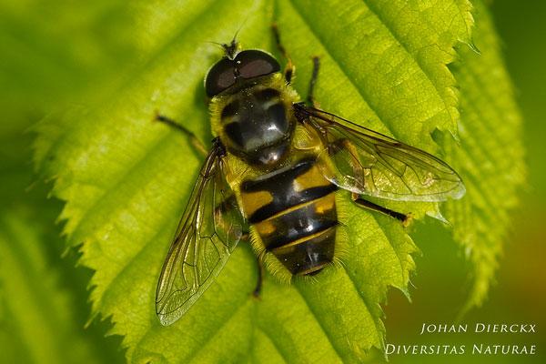Myathropa florea - Doodskopzweefvlieg