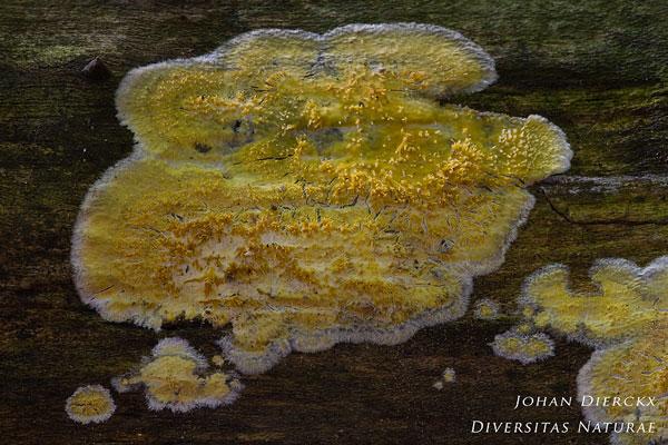 Mycoacia uda - Gele stekelkorstzwam