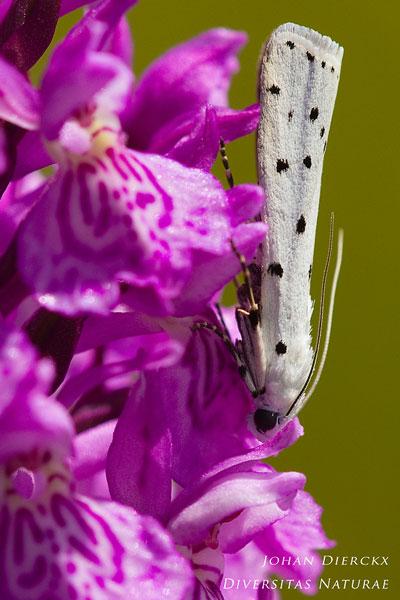 Myelois circumvoluta - Distelhermelijntje