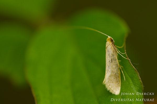 Nematopogon swammerdamella - Bleke langsprietmot