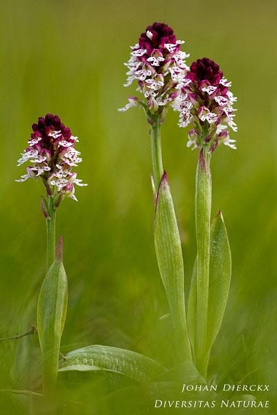 Neotinea ustulata - Aangebrande orchis