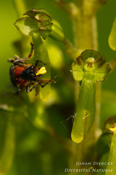 Neottia ovata - Grote keverorchis & Cantharis fusca - Zwartpootsoldaatje: Bestuiver