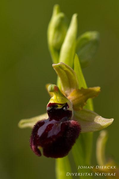 Ophrys bertoloniiformis x Ophrys passionis