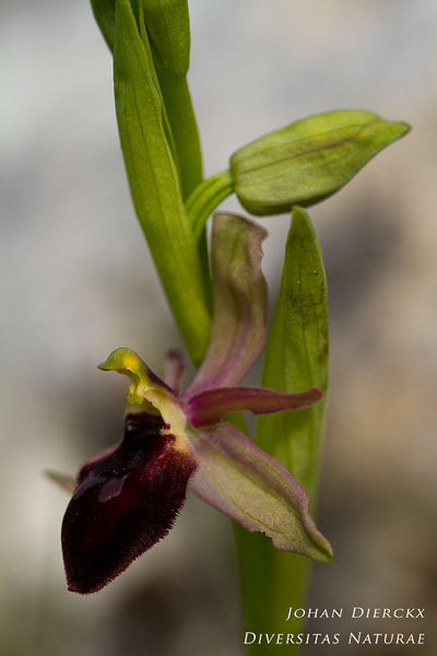 Ophrys biscutella x Ophrys promontorii