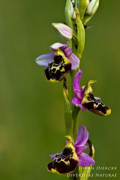 Ophrys elatior