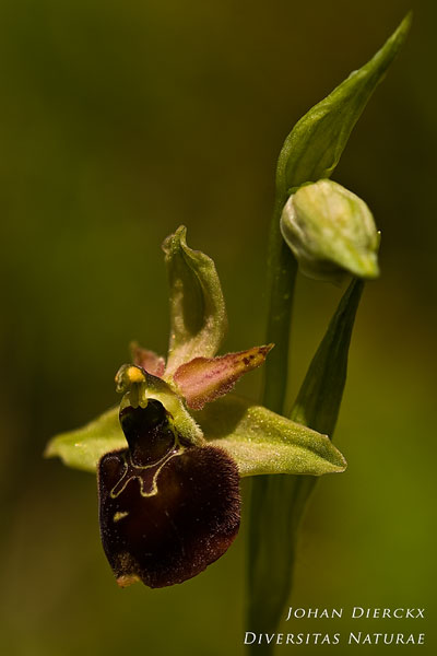 Ophrys fuciflora x Ophrys sphegodes