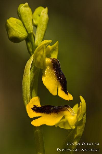 Ophrys lutea - Gele ophrys