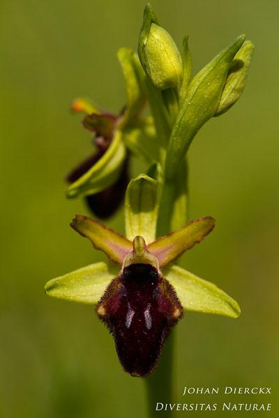 Ophrys promontorii
