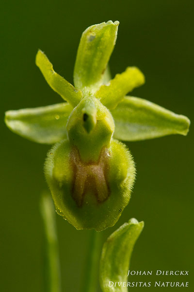 Ophrys virescens - apochroom