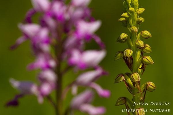 Orchis anthropophora - Poppenorchis & Orchis militaris - Soldaatje