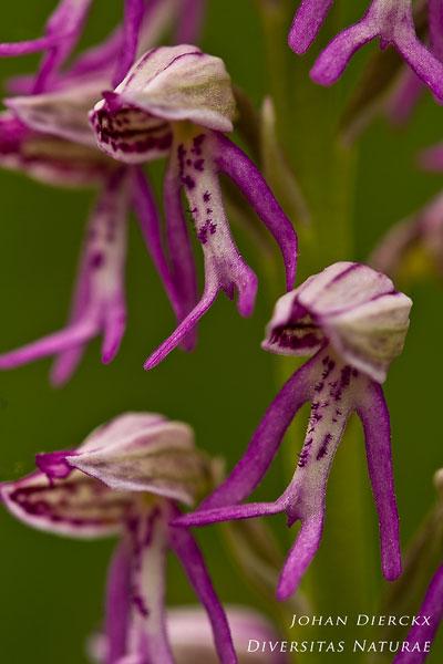 Orchis anthropophora x Orchis militaris