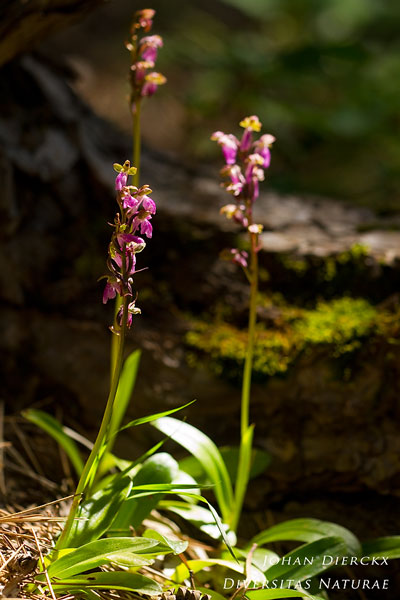 Orchis spitzelii - Spitzels orchis
