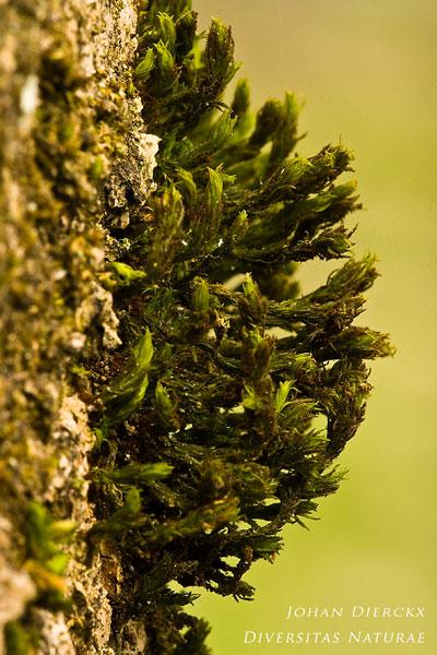 Orthotrichum lyellii - Broedhaarmuts