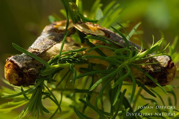 Phalera bucephala - Wapendrager
