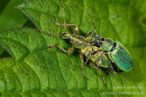 Phyllobius pomaceus - Groene bladsnuitkever