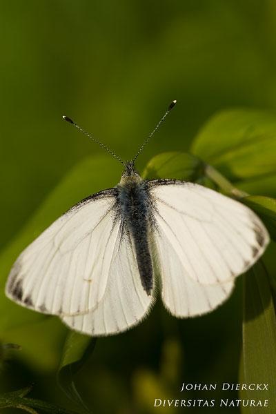 Pieris napi - Klein geaderd witje