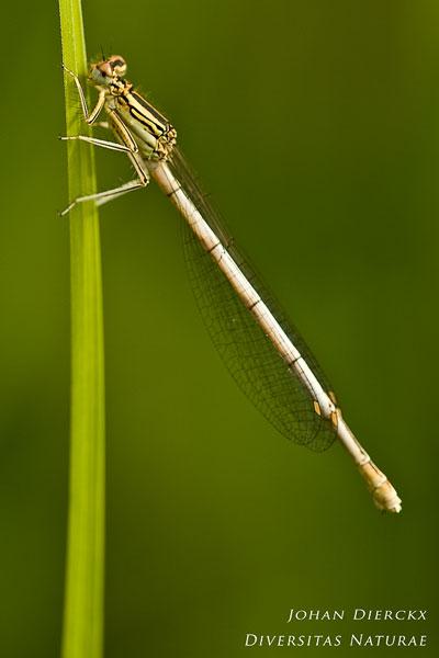 Platycnemis pennipes - Blauwe breedscheenjuffer