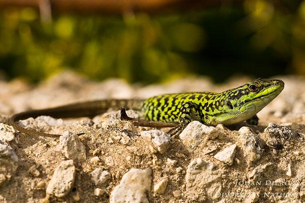 Podarcis siculus - Ruïnehagedis
