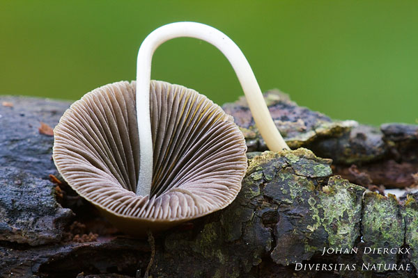 Psathyrella conopilus - Langsteelfranjehoed