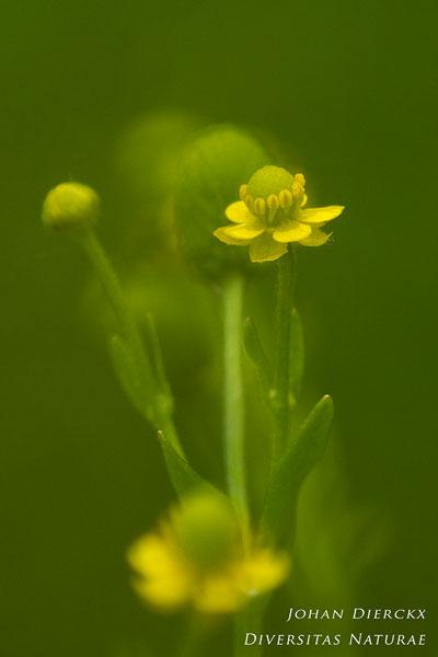 Ranunculus sceleratus - Blaartrekkende boterbloem