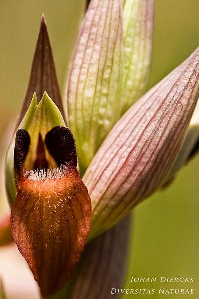 Serapias cordigera subsp. cretica
