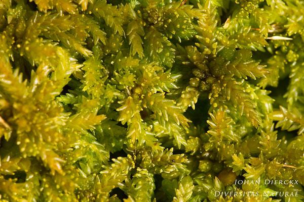 Sphagnum palustre - Gewoon veenmos