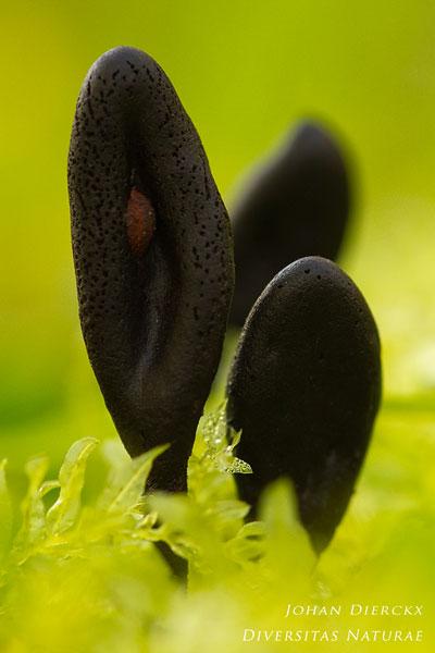 Trichoglossum hirsutum - Ruige aardtong