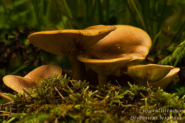 Tricholomopsis rutilans - Koningsmantel