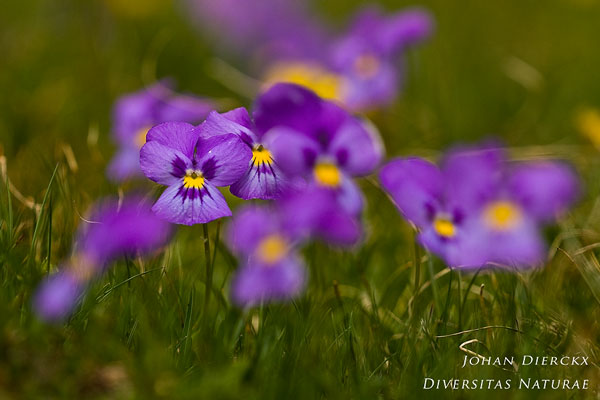 Viola calcarata - Langsporig viooltje