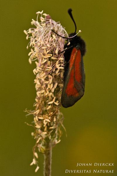 Zygaena purpuralis - Streep-sint-jansvlinder