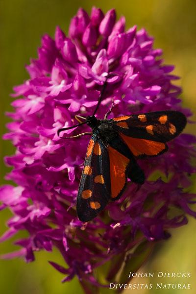 Zygaena transalpina - Zuidelijke sint-jansvlinder