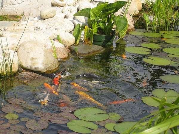 Plants Around Koi Pond