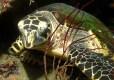 Turtle on house reef