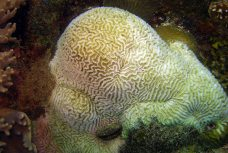 Crown of Thorn Damage to corals