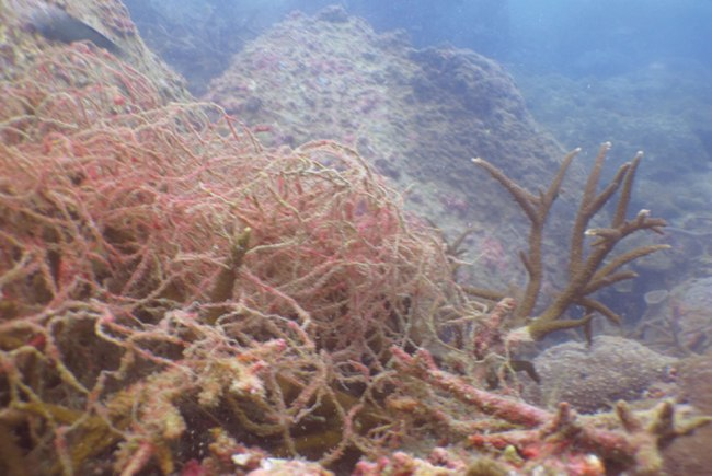 Fishing net entangled in staghorn coral
