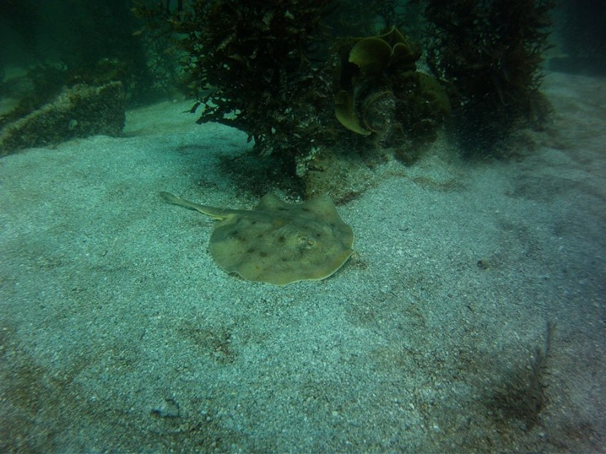 Yellow Sting Ray