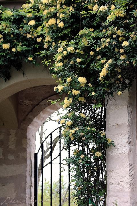 Arbor Roses